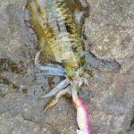 潮吹岩周辺でアオリイカ釣り