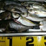 深日港での釣果 アジ、メバル
