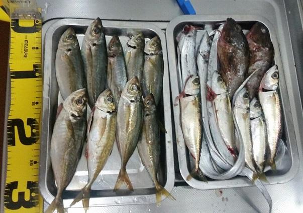 深日港での釣果 アジ、サバ、カサゴ、太刀魚