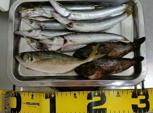 深日港での釣果 カマス、カサゴ、アジ