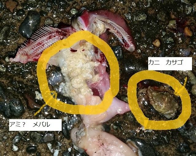 メバルとカサゴの胃の中身