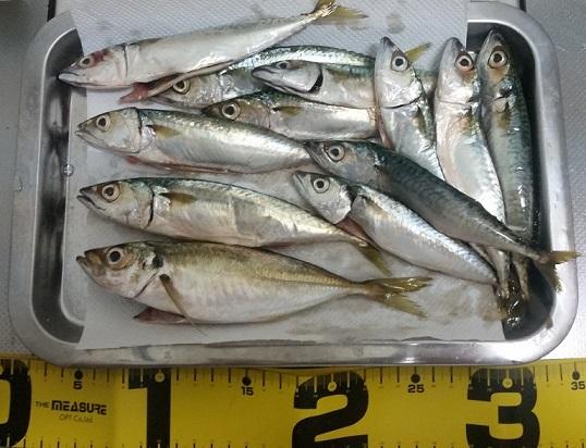 貝塚人工島での釣果 アジ、サバ