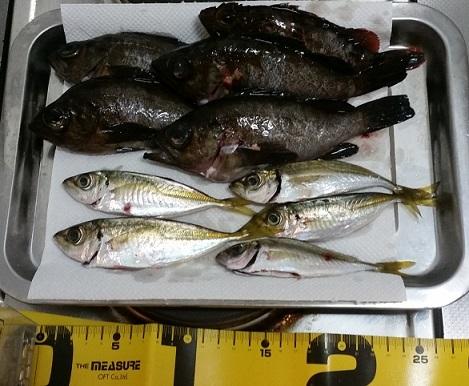 樽井漁港、淡輪漁港での釣果